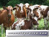 vacas lecheras, ovejas y cabras para la venta