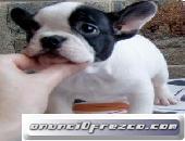 Magnifica camada de Bulldog frances  Magnifica ara tu anuncio...