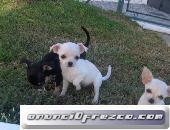 Chihuahuas mini raza