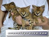 Socialized F1 y F2 Savannah Kittens Disponible