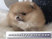 Pomeranias cachorritos machos y hembras