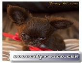 puppydiamond cria exclusiva de chihuahuas,bichon.lulu
