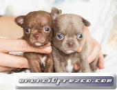 puppydiamond cria exclusiva de chihuahuas,bichon.lulu 2