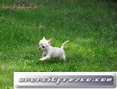 puppydiamond cria exclusiva de chihuahuas,bichon.lulu 3