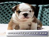 Preciosas Camadas Cachorros   Bulldog Inglés.