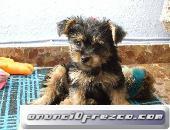 Yorshire terrier pequeño