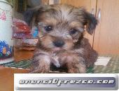 Yorshire terrier pequeño 2