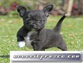 Cachorros de Chihuahua para la adopción masculina y femenina