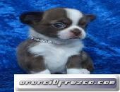 Cachorros de Chihuahua para la adopción masculina y femenina 2