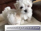 Preciosos Cachorros Maltés Disponibles