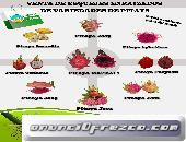 ESQUEJES ENRAIZADOS DE PITAYA- Pitahaya-Dragon fruit (fruto exótico)