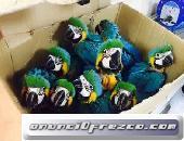 Loros guacamayos azul y dorado (contáctese)