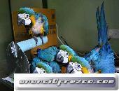 Loros guacamayos azul y dorado (contáctese) 2