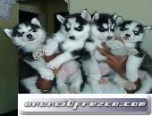 Cachorros de husky siberiano * tarifa reducida *