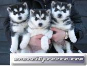Cachorros de husky siberiano * tarifa reducida * 2