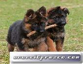 Cachorros de raza Pastor alemana de pelo largo