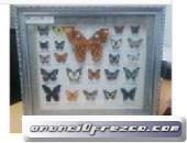 Cuadro de mariposas naturales