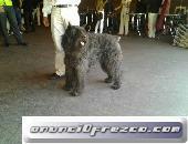 Cachorros de Bouvier de Flandes,puppy