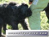 Cachorros de Bouvier de Flandes,puppy 3