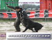 Cachorros de Bouvier de Flandes,puppy 4