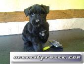 Cachorros de Bouvier de Flandes,puppy 5