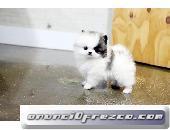 Regalo Cachorro de Pomerania inestimable blanco para la adopció