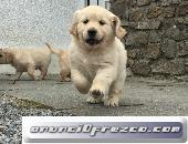 Kc Golden Retriever Cachorroslica, detalla tu anuncio...