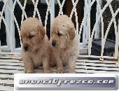 Kc Golden Retriever Cachorroslica, detalla tu anuncio... 2