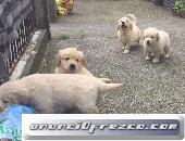 Kc Golden Retriever Cachorroslica, detalla tu anuncio... 3