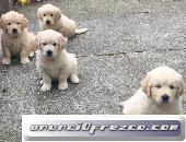 z Quería un cachorro de Golden Retriever que trabajaraanuncio...