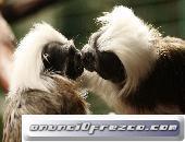 Cria bebe mono titi oreja de algodon
