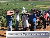 Se busca personal para trabajar en la campaña de la fresa