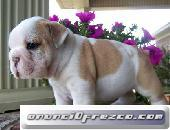 Disponible Machos y hembras Cachorros Bulldog Inglés