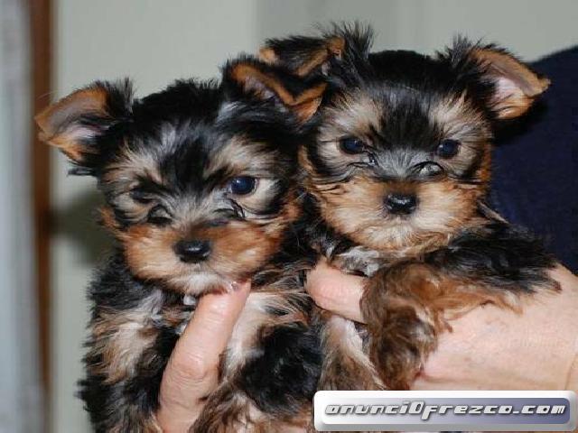 12 semanas de edad cachorros Yorkie Disponible