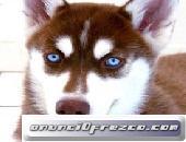 Ojos azules encantadores Siberian Huskies Puppies Ready whatsapp (+32 466 90 39 79)