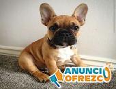 Bulldog francés disponible para la venta