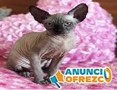Shpynx gatito disponible para la venta