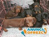 Cachorros de teckel miniatura pelo corto